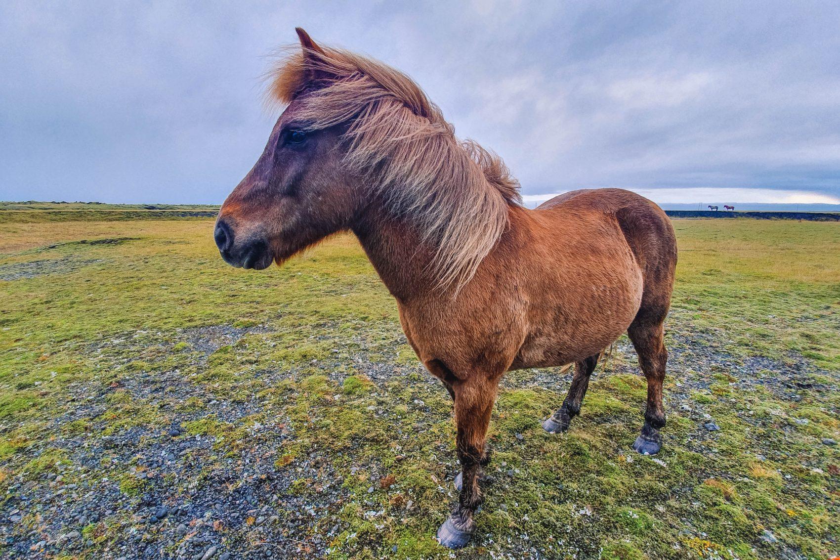 De ijslander of het IJslandse paard